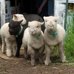 Raising sheep: 5 Lessons I've Learned the Hard Way