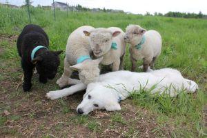 Guardian Livestock Dogs