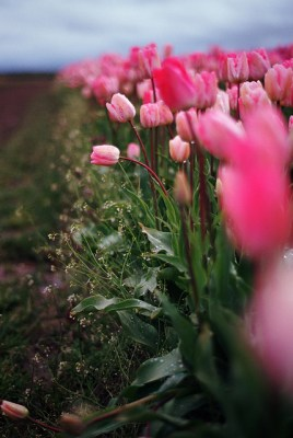 -field of pink tulips