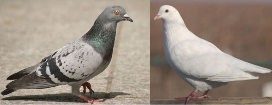 Pigeon vs Dove