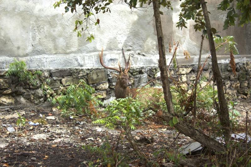 menjangan_deers