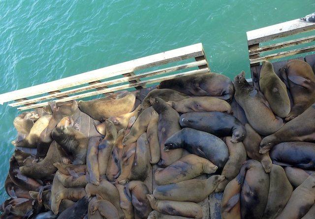 sea lions wharf Santa Cruz