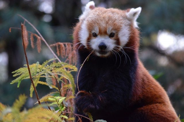 red-panda-portrait
