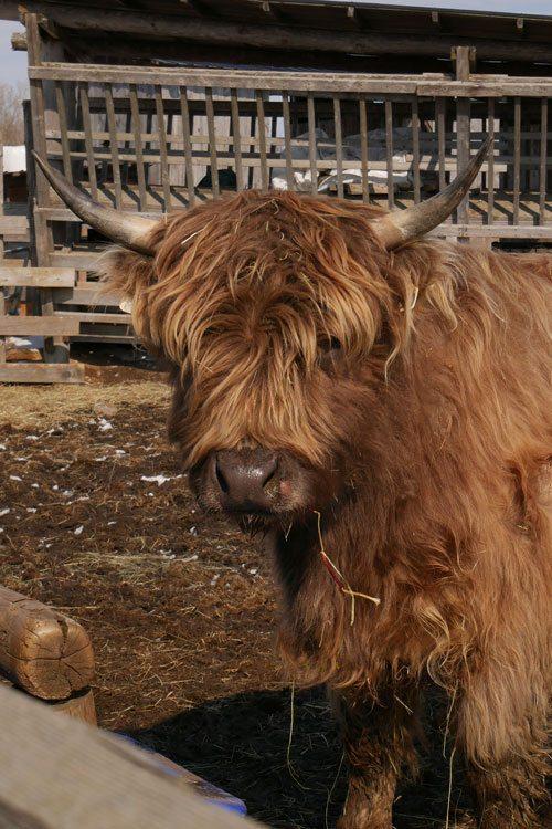 highland steer