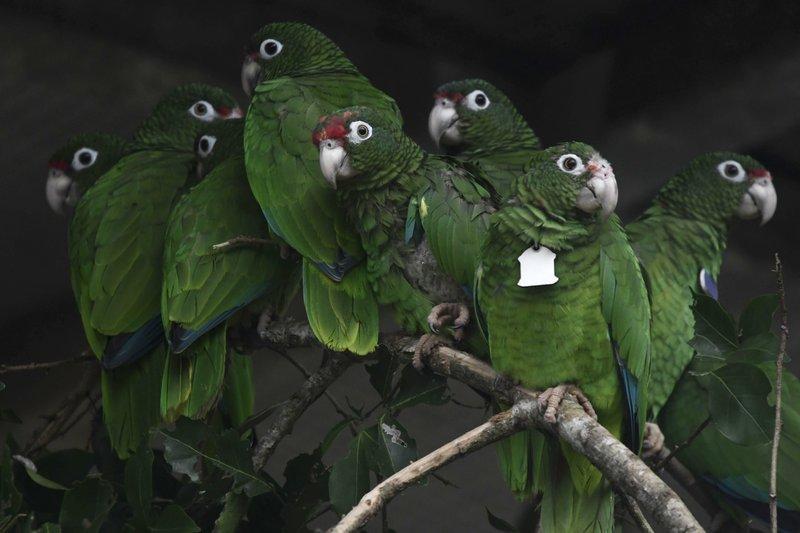 wild Puerto Rican parrot - AP