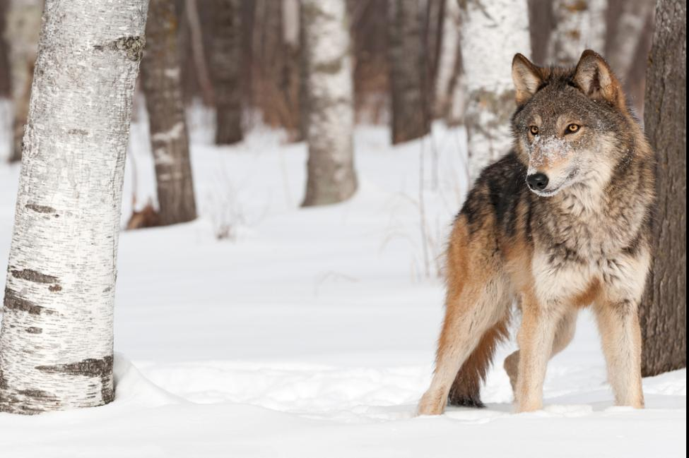 Bill-to-remove-federal-protection-for-gray-wolf-passes-House-heads-to-Senate