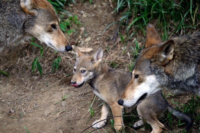 DNA of wolf declared extinct in wild lives on in Texas pack- AP
