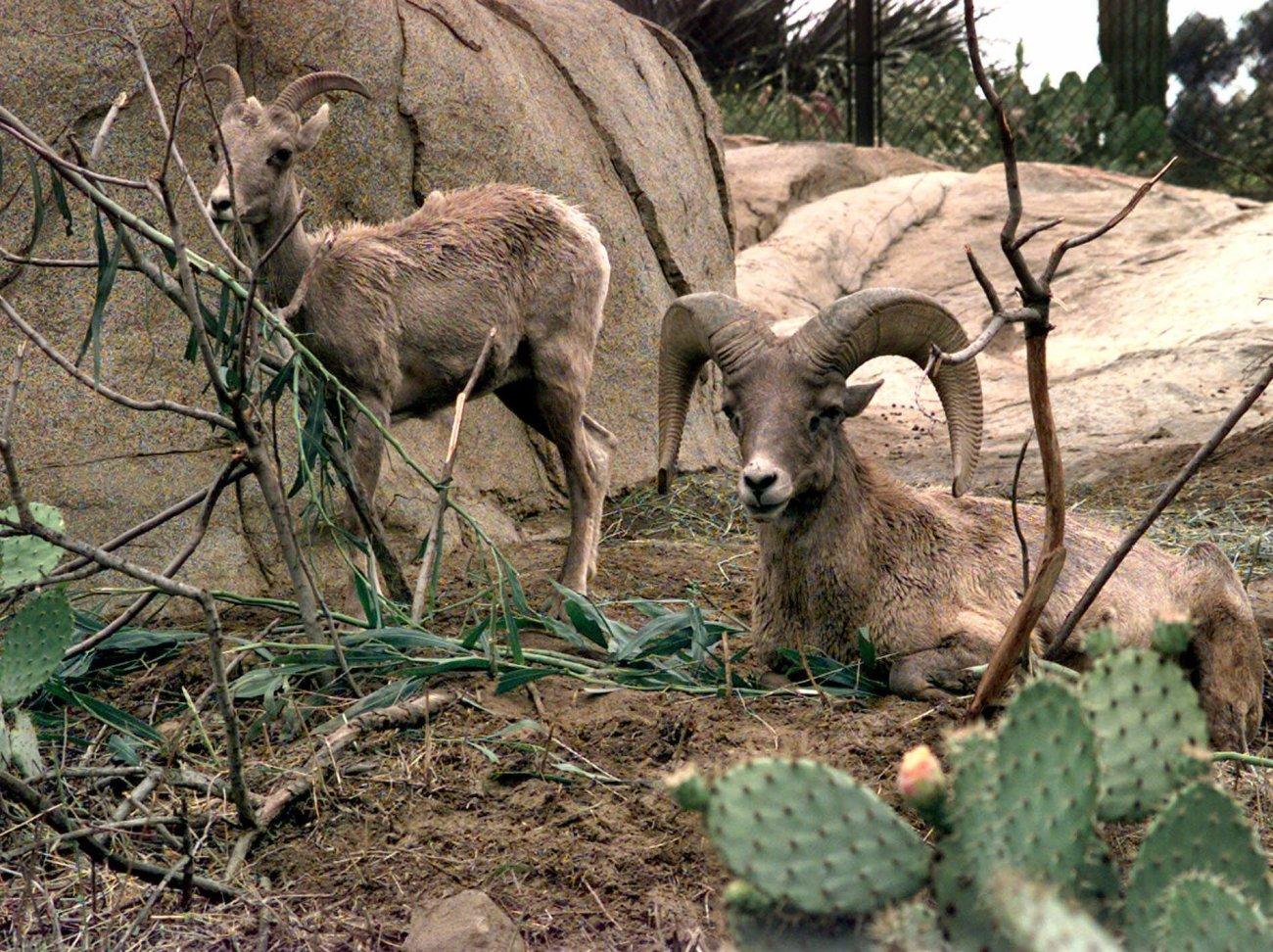 Disease may be killing California desert bighorn sheep