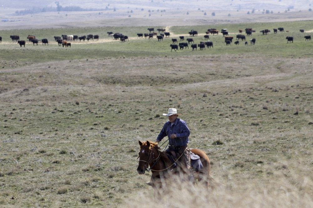 cattle rancher Joe Whitesell rides his horse in a field near Dufur, Oregon, as he helps a friend herd cattle-AP