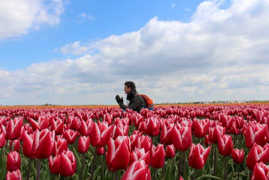 Tulpen | Tulips | Goeree-Overflakkee | Nederland | Netherlands | The Orange Backpack