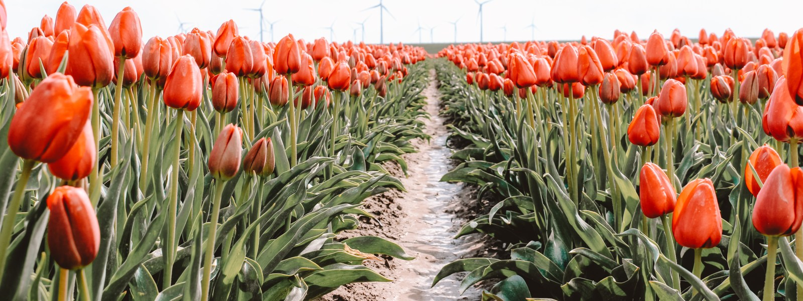Download onze tulpenroutes