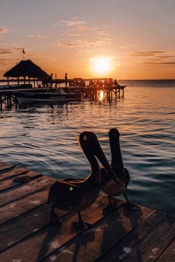 Pelikanen | Caye Caulker | Belize | De oranje rugzak