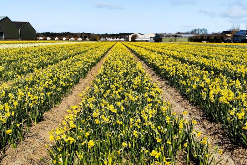 Daffodils Bollenstreekroute