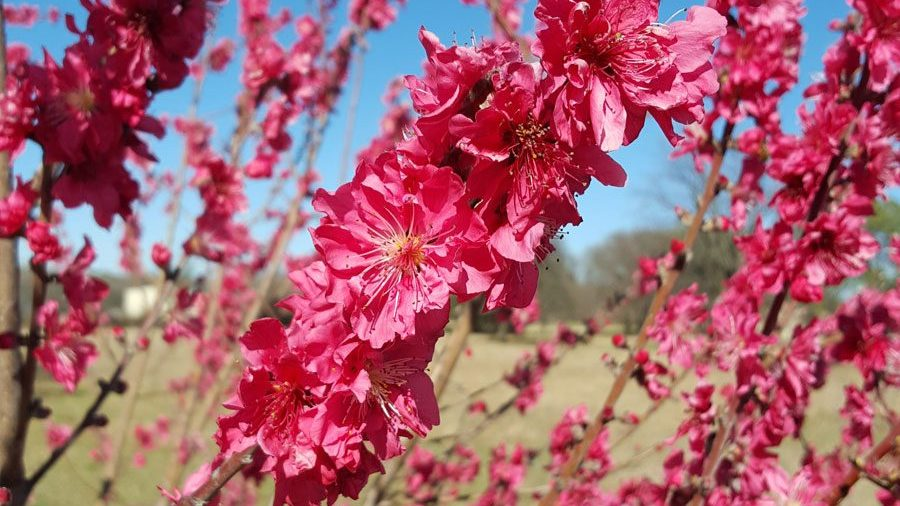 First Peach Blossom