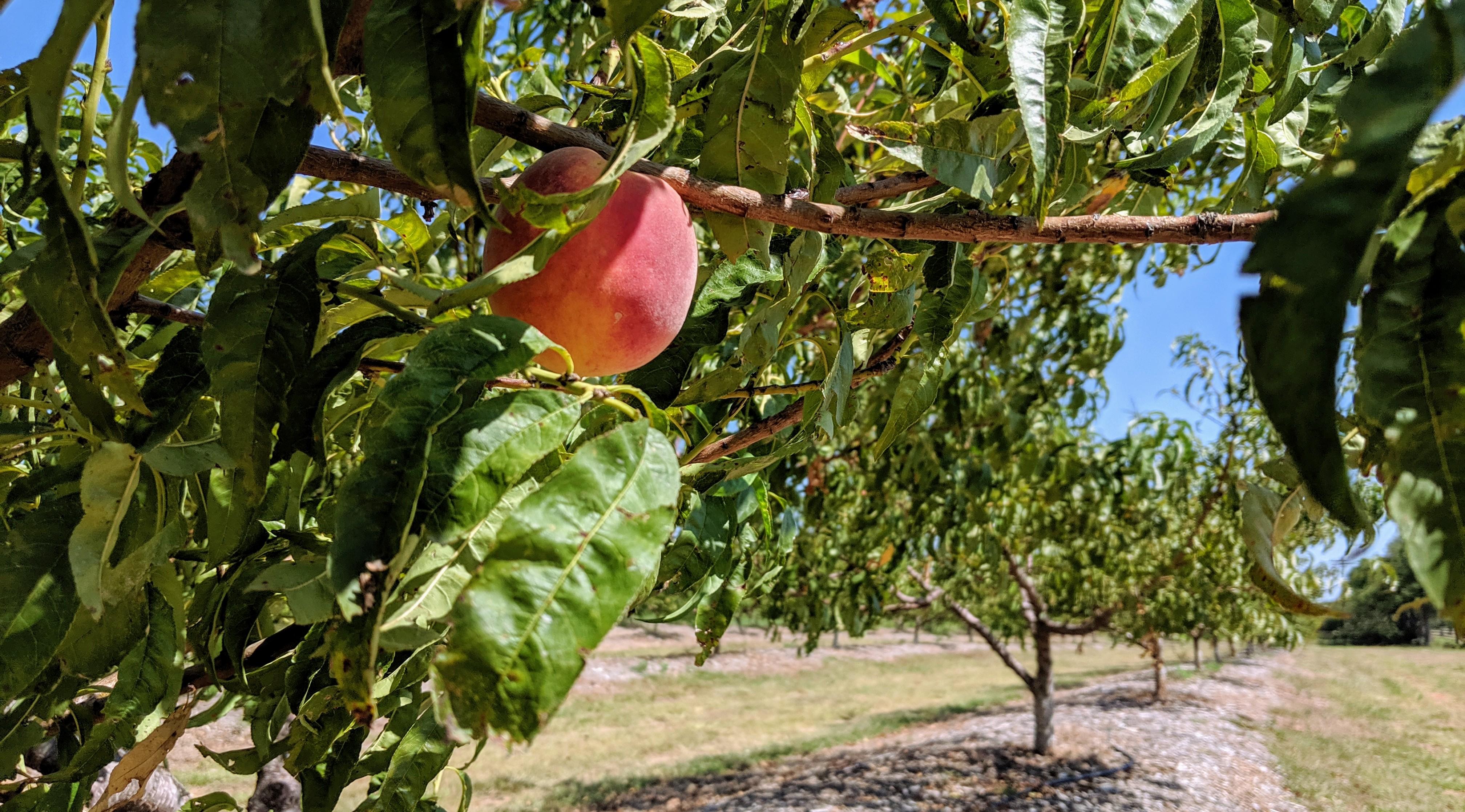 The Last Peach of Summer 2019