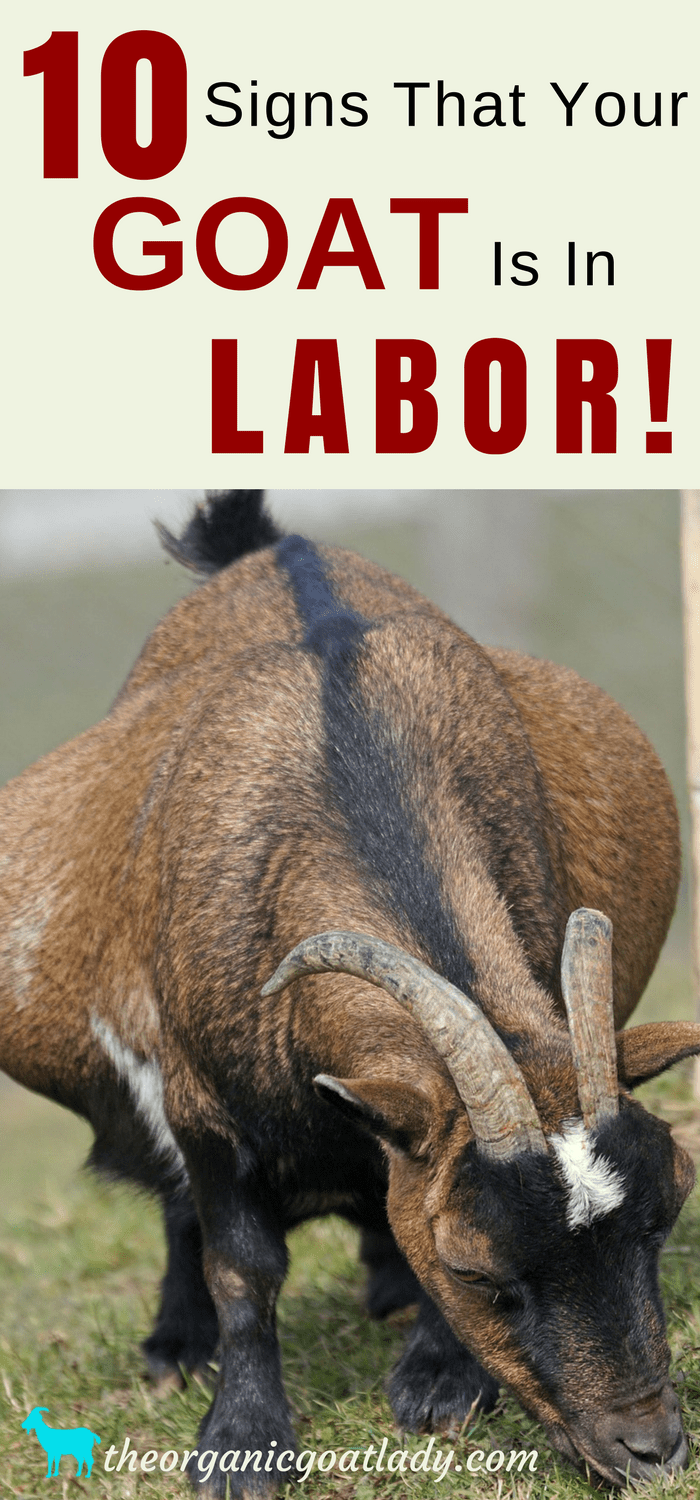 10 Signs That Your Goat Is In Labor