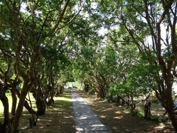 Secret Garden Laburnum