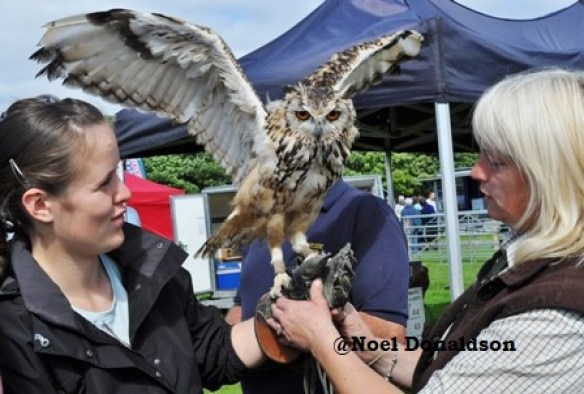 County Show owl