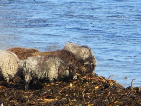 North Ronaldsay Sheep