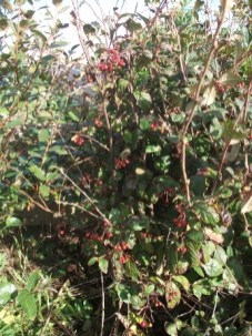 Cotoneaster, with berries