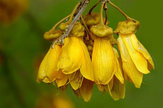 Kowhai Flowers (Sophora microphylla)