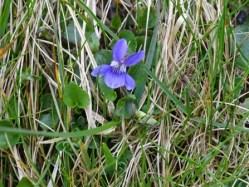 blue flower Bell