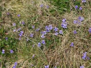 violets Bell