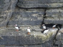 Puffins at Marwick, Orkney 2019 credit: Bell