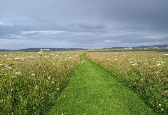Brodgar wildflowers 3