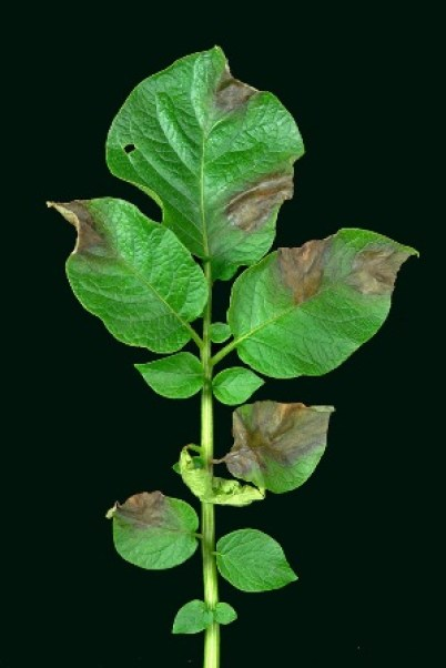 plant affected by blight