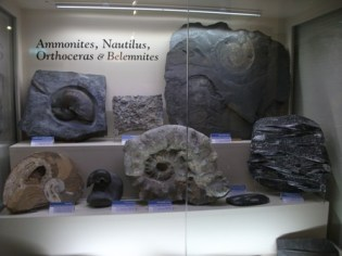 Fossil Centre ammonites Bell
