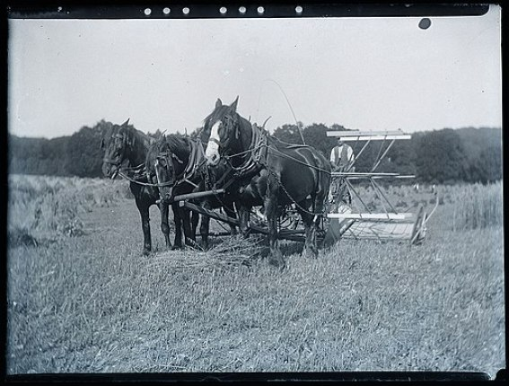 Early 1900s farming scene   horse drawn reaper harvester