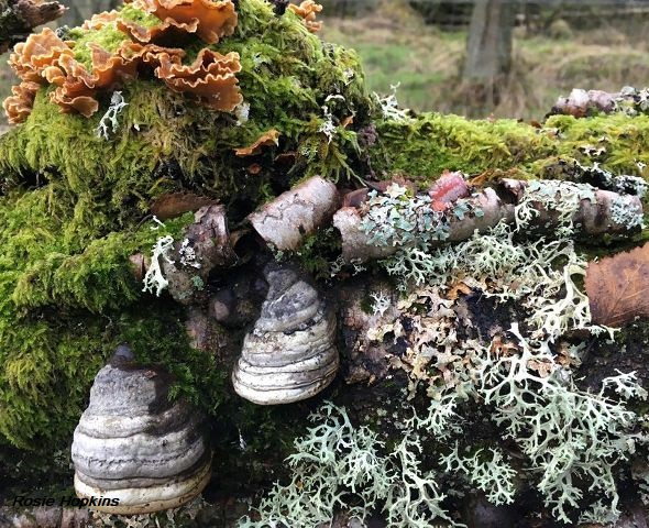 Rosie Hopkins fungus and moss on a tree
