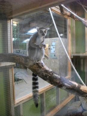 lemur Fernvalley Bell