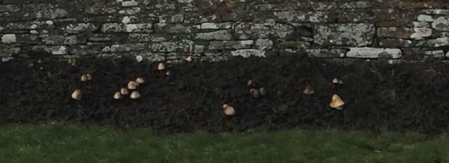Mushrooms in dung Warbeth Stromness