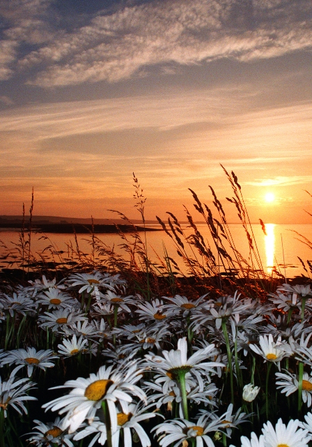 Rick Fleet's photo of Daisies at Dawn