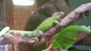 iguana Fernvalley 2017