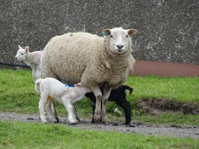 sheep and lambs Bell