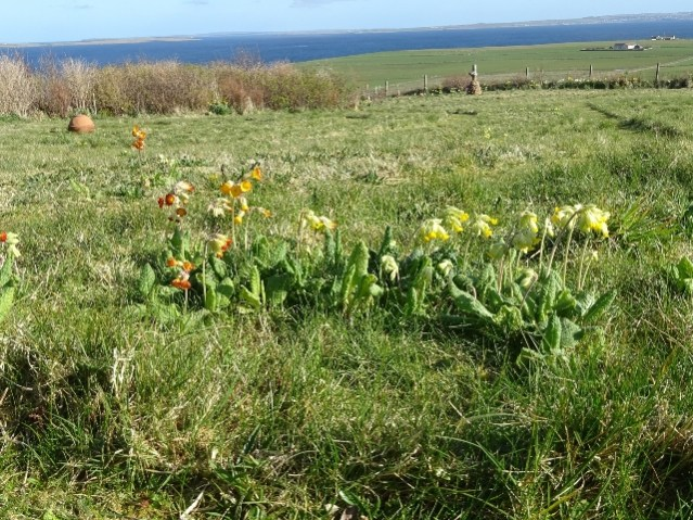 The swarm wild flowers -primulas cowslips