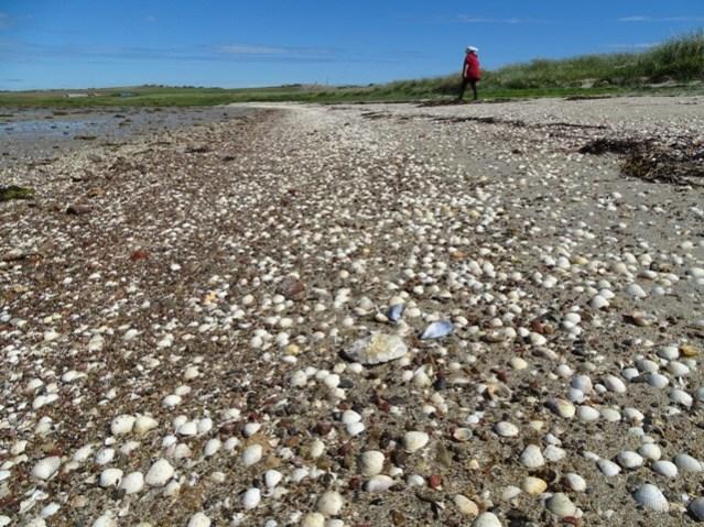 cockle shells Sandi Sand Dingieshowe credit Bell