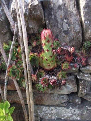 house leek garden plant in wall Bell