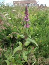 woundwort wildflower Bell