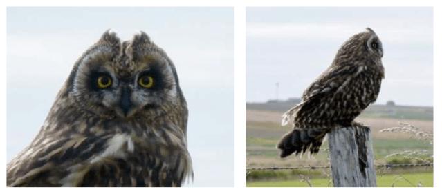 short eared owl Stronsay