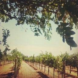 Signorella Vineyard Vines