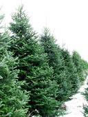 pinetree21