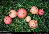 Gilan, Iran - Anbu, Pomegranate Harvest 2014 04