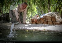 Kurdistan, Iran - Zhivar, Sarvabad, Pomegranate Harvest 2014 05