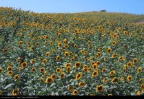 Golestan, Iran - Gorgan, Sunflower Farm 01