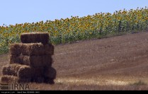 Golestan, Iran - Gorgan, Sunflower Farm 02