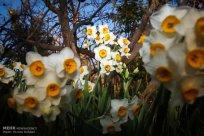 Iran - Narcissus Harvest 5